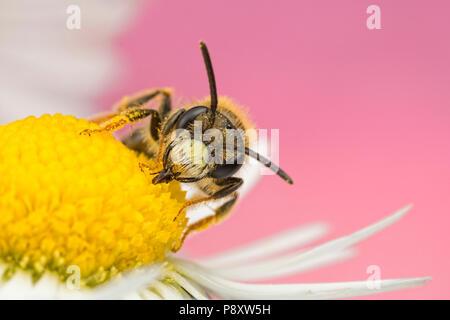 Solitary Bee nectaring on a Daisy - Stock Photo
