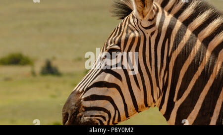 Close up of a Zebra standing next to you in the field - Stock Photo