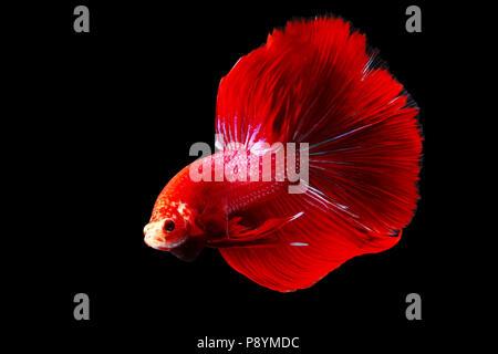 Betta fish, Siamese fighting fish - Stock Photo