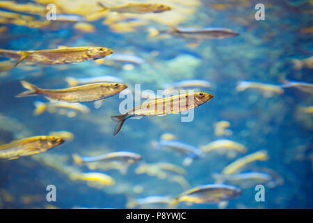 Shoal of red yellow tropical fishes in blue water, colorful clear underwater world, copyspace for text, background wallpaper - Stock Photo