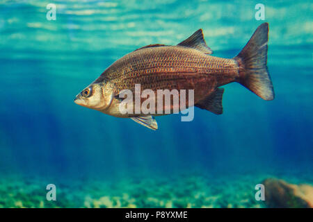 One red yellow large fish in blue water, colorful underwater world, copyspace for text, background wallpaper - Stock Photo