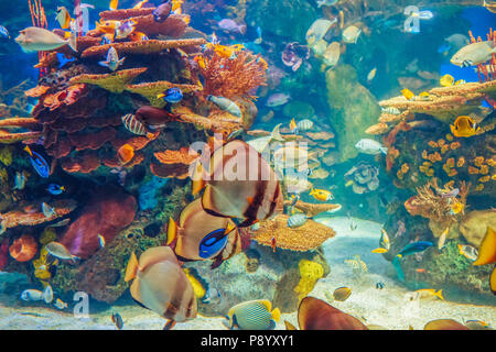 Shoal group of many red yellow tropical fishes in blue water with coral reef, colorful underwater world, copyspace for text, background wallpaper - Stock Photo