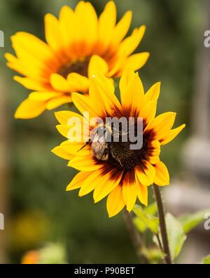 Flower bee on sunflower. - Stock Photo