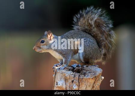 A Grey squirrel on a garden post - Stock Photo