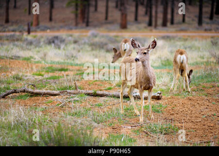 Group of deers in Bryce Canyon National park in Utah, USA - Stock Photo
