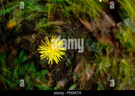 Double exposure photography generated from the camera to a plant called Dandelion (Taraxacum officinale) in its natural environment. Junín - Perú - Stock Photo