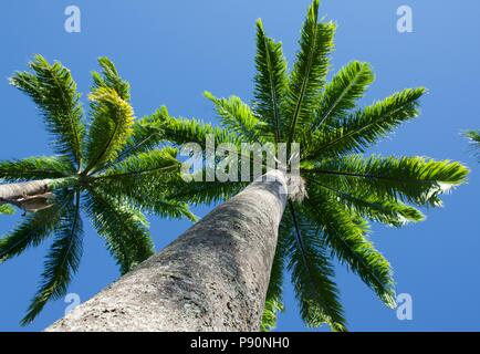 Avenue of Cuban Royal Palm Palms  with tall trunks and brilliant green fronds agains a clear blue sky - Stock Photo