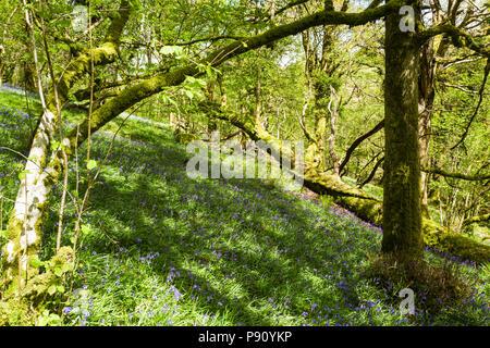 Bluebells (Hyacinthoides non-scripta) in flower in Halstock Wood, near Okehampton, Devon, UK.  May, 2018. - Stock Photo