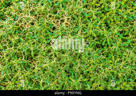 Overhead view of maturing green acacia white thorn plant - Stock Photo