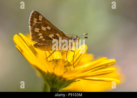 Silver-spotted skipper (Hesperia comma) butterfly on yellow aster flower - Stock Photo