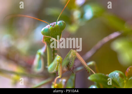 Headshot of European praying mantis (Mantis religiosa) is one of the most well-known and widespread species of the order Mantodea, the Mantises. - Stock Photo