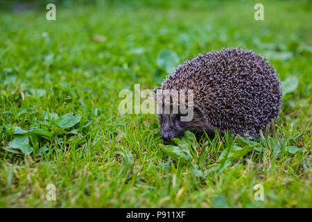 West european hedgehog (Erinaceus europaeus) on a green meadow - Stock Photo