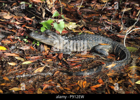 Alligator December 10th, 2012 Everglades National Park, Florida - Stock Photo