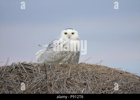 Snowy Owl on a hay bale. Taken right before dawn at Lake Andes National Wildlife Refuge, South Dakota, USA - Stock Photo