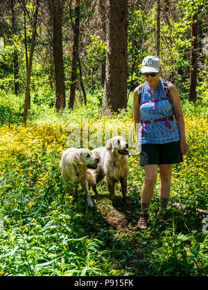 Woman hiking with two platinum colored Golden Retriever dogs amongst Heartleaf Arnica; Sunflower wildflowers; South Fooses Creek; Central Colorado USA - Stock Photo