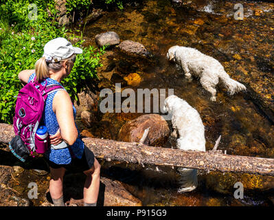 Woman hiking along South Fooses Creek with platinum colored Golden Retriever dogs; Central Colorado; USA - Stock Photo