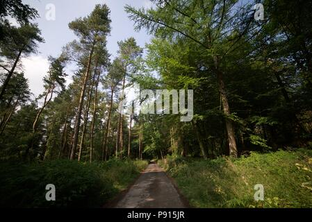 A dirt path leading through a Coniferous woodland / forest / plantation on a sunny day with a clear sky. Pine trees. - Stock Photo