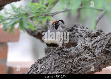 Gambel's Quail April 18th, 2014 Hacienda del Desierto, Tucson, Arizona - Stock Photo
