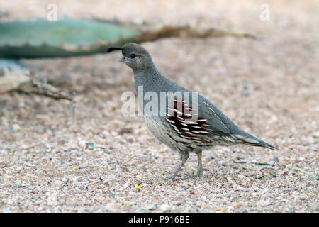 Gambel's Quail April 19th, 2014 Hacienda del Desierto, Tucson, Arizona - Stock Photo