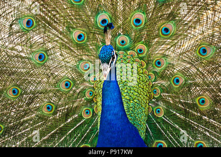 male Indian peafowl - Pavo cristatus displaying his tail - Stock Photo