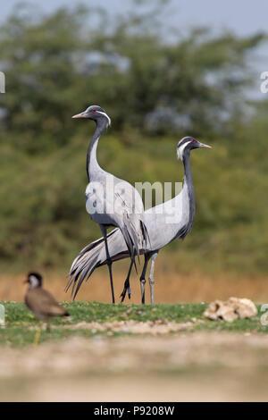 Demoiselle crane (Grus virgo) near Jamnagar, Gujarat, India - Stock Photo