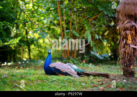 Beautiful peacock relaxing on the grass in a zoo - Stock Photo