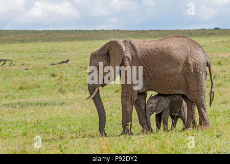 African Elephant and Calf at Masai Mara National Reserve, Kenya - Stock Photo