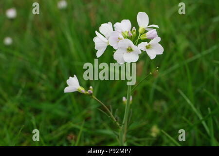 Cardamine pratensis (cuckooflower) (Wiesen-Schaumkraut) (Cardamine des prés) - Stock Photo
