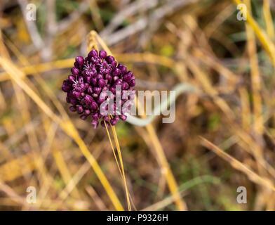 The purple flower of Allium Ampeloprasum in a field near Jerusalem, Israel - Stock Photo