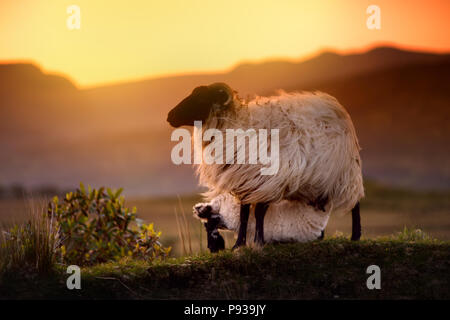 Sheep grazing in green pastures on a sunset. Adult sheep and baby lamb feeding in lush green meadows of Ireland. - Stock Photo
