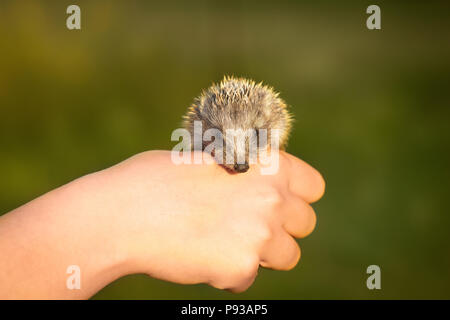 Little hedgehog is sitting on a hand - Stock Photo