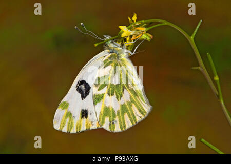 A Becker's White butterfly, Pontia beckerii, on a wildflower in thigh desert of central Oregon. - Stock Photo