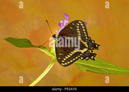 Dorsal view of an Indra Swallowtail butterfly, Papilio indra, on a wildflower in the eastern Cascade Mountains of central Oregon. - Stock Photo