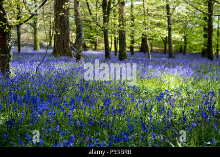 Bluebell woods in Cornwall, England, UK - Stock Photo