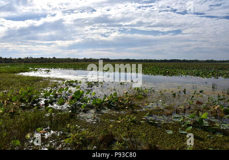 Waterlilies floating on the water. Mamukala Wetlands in dry season on a cloudy day. This place allows bird-watchers to see an astonishing variety of b - Stock Photo