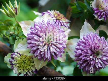 Clematis florida Sieboldii. Close-up.The Clematis florida Sieboldii is a stunning double-flowering clematis which produces deep white flowers - Stock Photo