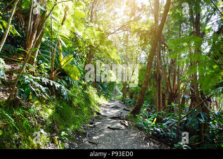 Kilauea Iki trail in Volcanoes National Park in Big Island of Hawaii. Trail leads through lush rain forest along the rim of Kilauea Iki and down to it - Stock Photo
