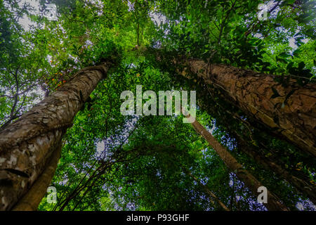 Looking up the trunk of a tropic rainforest tree - Stock Photo