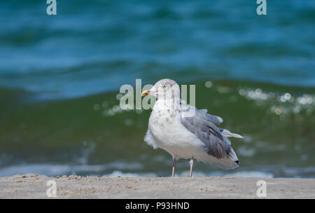 European herring gull - Stock Photo