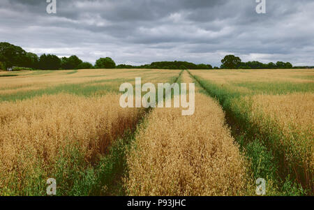 View across field of oats with trees on the horizon under blue sky and whips of clouds in summer in Beverley, Yorkshire, UK. - Stock Photo