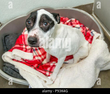 Abused dog getting cared for after rescue - Stock Photo