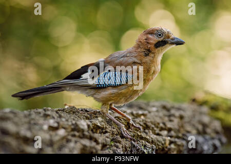 Eurasian Jay - Garrulus glandarius, large colored perching bird from European forests and woodlands. - Stock Photo