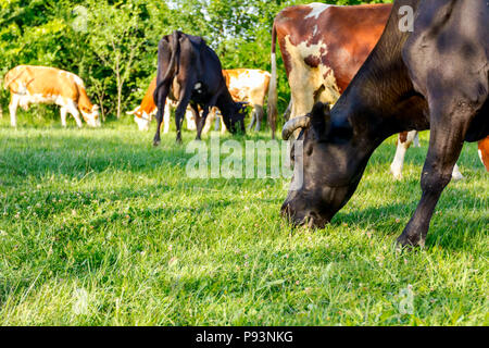 Herd of domestic bloodstock cows are grazing grass in rural village. - Stock Photo