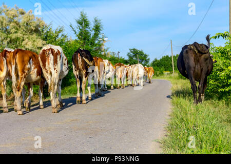 Two shepherds are driving a herd of bloodstock domestic cows home to the barn after pasture on asphalt road in village. - Stock Photo