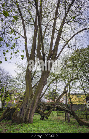 Old lime tree, estimated at more than 900 years in park of castle in Bzenec town in Czech Republic - Stock Photo