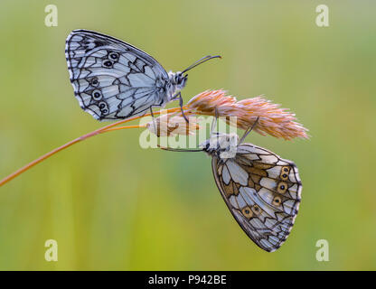 Butterfly couple - Stock Photo