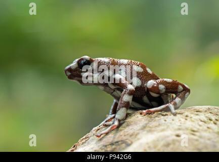Marañón poison frog - Stock Photo