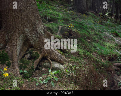 Photo of mystical forest in the mountains. Close-up view of tree roots, stones and moss. - Stock Photo