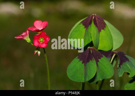 Leaves and flowers of Iron Cross plant, also known as Four-leaved pink-sorrel - Stock Photo