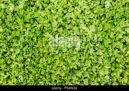 Common Box - Buxus sempervirens. View from above. Green foliage carpet background. - Stock Photo